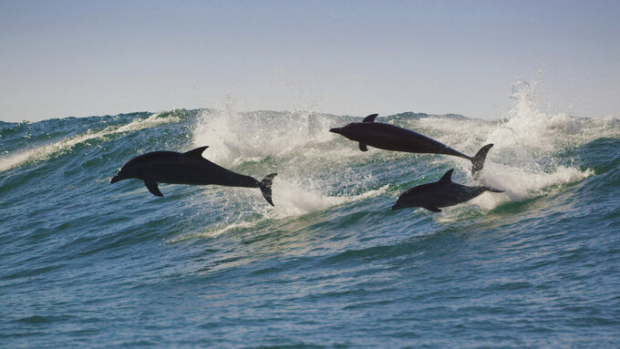 """This image released by BBC America shows Indo-Pacific bottlenose dolphins in a scene from """"Planet Earth: A Celebration."""" The special debuts at 8 p.m. EDT Monday, Aug. 31, on BBC America, AMC, SundanceTV and IFC. (BBC Studios/BBC America via AP)"""