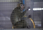 A long-tailed macaque which is kept for use in the clinical research is seen inside cage at National Primate Research Center, run by Chulalongkorn University in Saraburi Province, north of Bangkok, Saturday, May 23, 2020. Thai health officials said that scientists in Thailand have had promising results in testing a COVID-19 vaccine candidate on mice, and has begun testing on monkeys. (AP Photo/Sakchai Lalit)