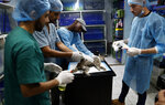 Palestinian veterinarians treat a cat at a clinic in Gaza City, Monday, July 13, 2020. In the impoverished Gaza Strip, where most people struggle to make ends meet amid a crippling blockade, the suffering of stray dogs and cats often goes unnoticed. (AP Photo/Adel Hana)