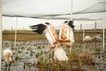 This photo provided by the Louisiana Department of Wildlife and Fisheries shows a few young endangered whooping cranes are in southwest Louisiana, being prepared to join 69 adults in the wild. (Sara Zimorski/Louisiana Department of Wildlife and Fisheries)