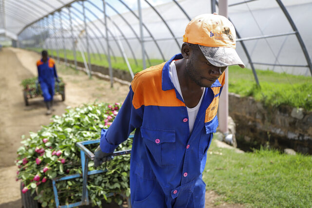 In this photo taken Thursday, March 19, 2020, farm worker Evans Makori pulls a handcart of roses to be thrown away at Maridadi Flowers farm in Naivasha, Kenya. With lockdowns and border restrictions around the world because of the coronavirus, the multibillion dollar flower industry in countries such as Kenya and the Netherlands has slumped. For many people the new coronavirus pandemic causes mild or moderate symptoms but for some it can cause severe illness.(AP Photo/Patrick Ngugi)