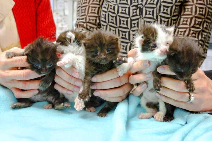 This May, 2019 photo from the San Diego Humane Society shows five kittens that had that stowed away on a 400-mile trip to San Diego being cared for at the organization's San Diego office. The group says the kittens somehow wound up inside a 60-foot steel column that was trucked from Hayward in the San Francisco Bay Area to San Diego. On April 24, 2019, construction workers building new Kaiser Permanente medical offices heard meows coming from the column. They tilted the column and the week-old kittens slid out. The kittens are now in foster care and will be ready for adoption in another couple of months. (San Diego Humane Society via AP)