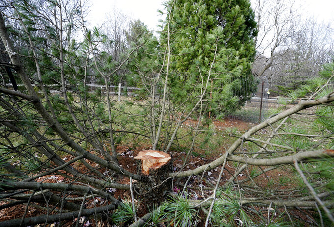 "This Nov. 12, 2020 photo shows the stump of rare, 25-foot tall Algonquin Pillar Swiss Mountain pine tree which was cut down and stolen from the UW Arboretum in Madison, Wis.   UW-Madison police said Friday, March 26, 2021,  that three 19-year-old university students stole the tree as a ""pledge"" activity for the Chi Phi fraternity, which hasn't been recognized as an official student organization since 2015.   The three admitted to purchasing a chainsaw, renting a U-Haul and stealing the 25-foot Algonquin Pillar Swiss Mountain pine.    ( Steve Apps/Wisconsin State Journal via AP)"