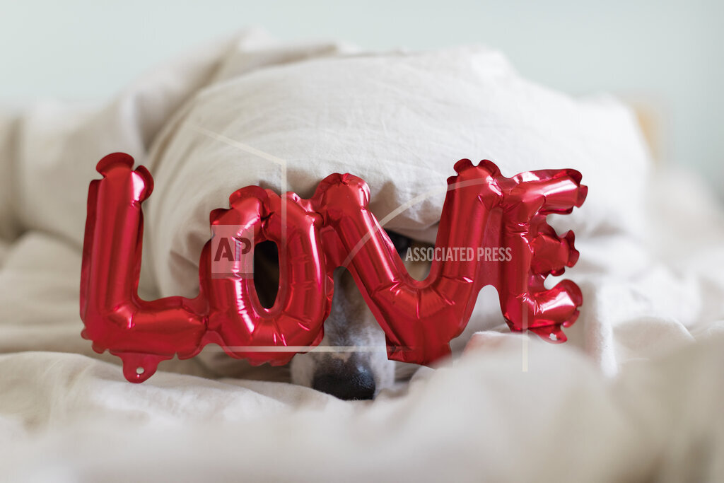 Dog on bed with love foil balloon, under blanket