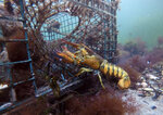 In this Saturday, Sept. 8, 2018 photo, a lobster walks into a lobster trap on the floor of the Atlantic Ocean off Biddeford, Maine. The American lobster industry is starting to feel the effects of China's tariff on U.S. seafood as exporters and dealers report sagging prices and financial pressure. (AP Photo/Robert F. Bukaty)