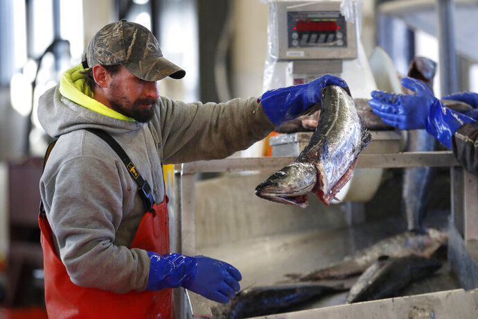 FILE - In this March 25, 2020, file photo, a worker weighs and sorts pollack at the Portland Fish Exchange in Portland, Maine. The coronavirus pandemic has hurt the U.S. seafood industry due to a precipitous fall in imports and exports and a drop in catch of some species. (AP Photo/Robert F. Bukaty, File)