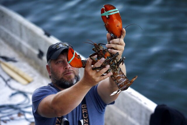 FILE - In this Aug. 24, 2019, file photo, a dealer at Cape Porpoise holds a 3 1/2 pound lobster in Kennebunkport, Maine. Members of the US lobster industry are hopeful a thaw in trade relations with China in 2020 could reopen one of the biggest markets in the world. (AP Photo/Robert F. Bukaty, File)
