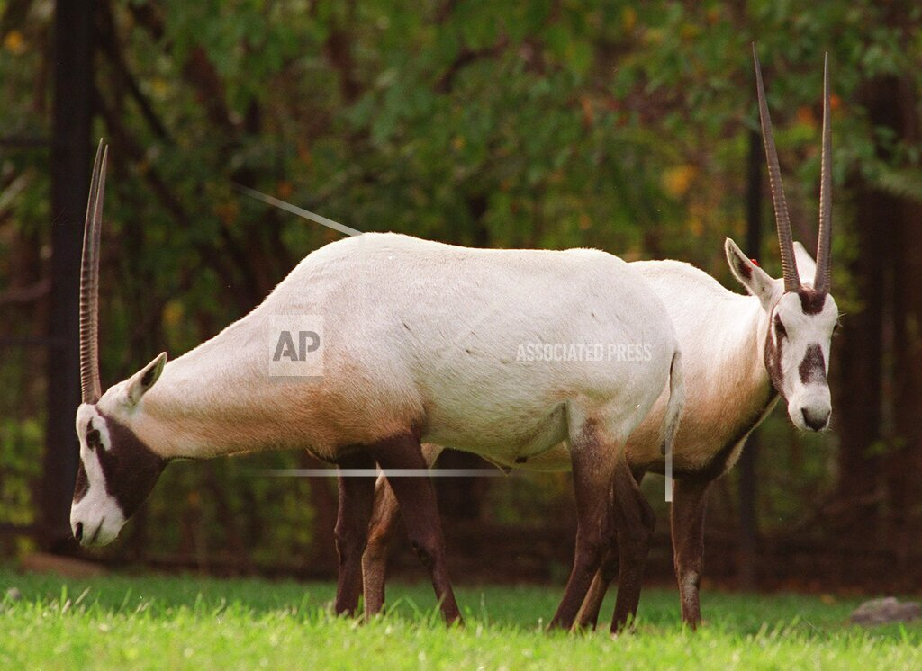 Associated Press Domestic News New York United States Feature ZOO ORYX