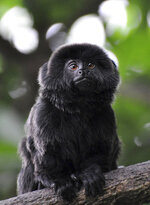 CORRECTS TO CLARIFY THIS IS THE TYPE OF MONKEY THAT IS MISSING NOT THE ACTUAL MONKEY -  In this undated photo provided by the Palm Beach Zoo, a rare Goeldi's monkey, sits on a branch at an enclosure at the Palm Beach Zoo, in West Palm Beach, Fla. Police in Florida are on the lookout for a 12-year-old Goeldi's monkey, that was stolen Monday, Feb. 11, 2019, from the zoo. Zoo president Margo McKnight said Goeldi's monkeys are