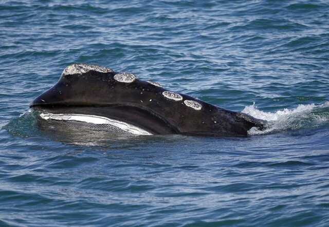 FILE - In this March 28, 2018 file photo, a North Atlantic right whale feeds on the surface of Cape Cod bay off the coast of Plymouth, Mass. A judge ruled on Thursday, April 9, 2020, that the federal government had failed to adequately protect endangered whales from lobster fishing activities. Environmental groups had sued the U.S. government with a claim regulators' failure to prevent the North Atlantic right whale from harm was a violation of the Endangered Species Act. (AP Photo/Michael Dwyer, File)