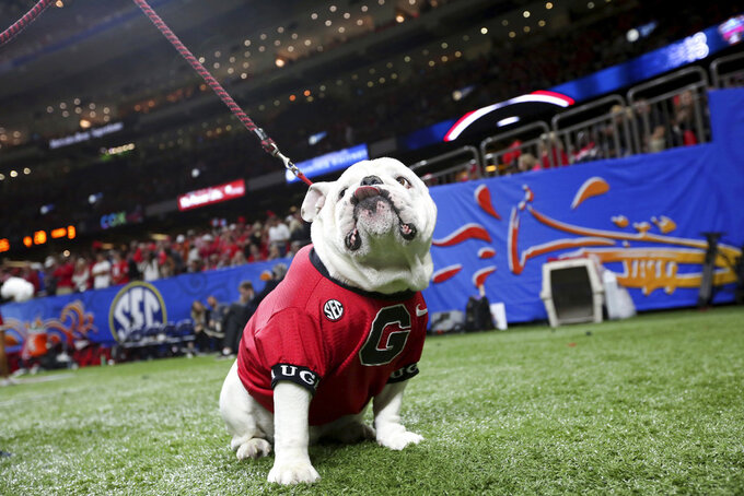 Uga, the Georgia mascot, sits near the sideline during the second half of Georgia's Sugar Bowl NCAA college football game against Texas in New Orleans, Tuesday, Jan. 1, 2019. (AP Photo/Rusty Costanza)