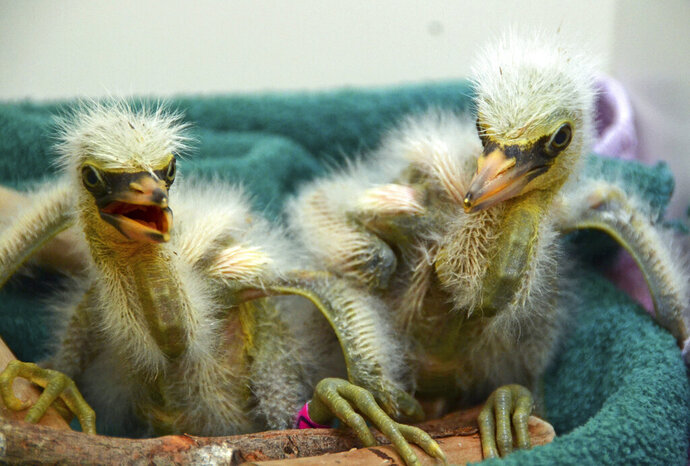 In this Wednesday, July 10, 2019 photo provided by International Bird Rescue, rescued snowy heron chicks are cared for at the organization's facility in Fairfield, Calif. Over a dozen baby herons and egrets were rescued after their tree collapsed in Oakland, hurling them from their nests to the pavement. International Bird Rescue says it got a call Wednesday after a ficus tree that was serving as a rookery split in half and partially fell. Rescuers took the birds to the group's rescue center in Fairfield. Some are only days old. (International Bird Rescue via AP)
