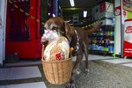 "Eros carries a basket with bread as he leaves the El Porvenir mini-market to make a delivery on his own in Medellin, Colombia, Tuesday, July 7, 2020. The eight-year-old chocolate Labrador remembers the names of customers who have previously rewarded him with treats, and with some practice, he has learned to go to their houses on his own. ""He helps us to maintain social distancing,"" said Eros' owner Maria Natividad Botero, amid the COVID-19 pandemic. (AP Photo/Luis Benavides)"