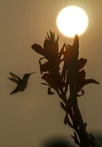 A hummingbird visits a red canna lilly flower to gather nectar while the morning sun in Springfield, Ill., is diffused by smoke from massive wildfires in western states nearly 2,000 miles away. The National Weather Service in Lincoln, Ill., said the sky in central Illinois will remain hazy the next few days. (Ted Schurter/The State Journal-Register via AP)