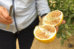 Tracy Kahn, curator of the Citrus Variety Collection at University of California, Riverside, shows a sampling of fruit grown on the site in Riverside, Calif., Thursday, Sept. 26, 2019. The collection forms part of a broad effort to find a solution to a tree-killing disease that has ravaged groves in Florida and abroad. (AP Photo/Amy Taxin)