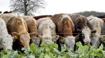 Cattle feed on kale on Balbirnie farm in Cupar, Scotland, Tuesday Dec. 3, 2019. Johnnie Balfour is the managing director of the farm and is against Scottish independence. Balfour, who family has operated Balbirnie Farm since 1642, is tired of all the back and forth over independence. He remembers that voters were told ahead of the 2014 vote that this was a