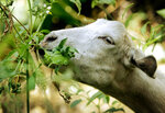 "FILE - In this Aug. 16, 2005, file photo, a goat from a ranch in southern Oregon chews on low-hanging foliage in Sycamore Canyon Park in the hills above Claremont, Calif. The threat of catastrophic wildfires has driven a Northern California town to launch a ""Goat Fund Me"" campaign to bring herds of goats to city-owned land to help clear brush.  Nevada City in the Sierra Nevada began the online crowdsourcing campaign December 2018,  with the goal of raising $30,000 for the project.  (AP Photo/Reed Saxon, File)"
