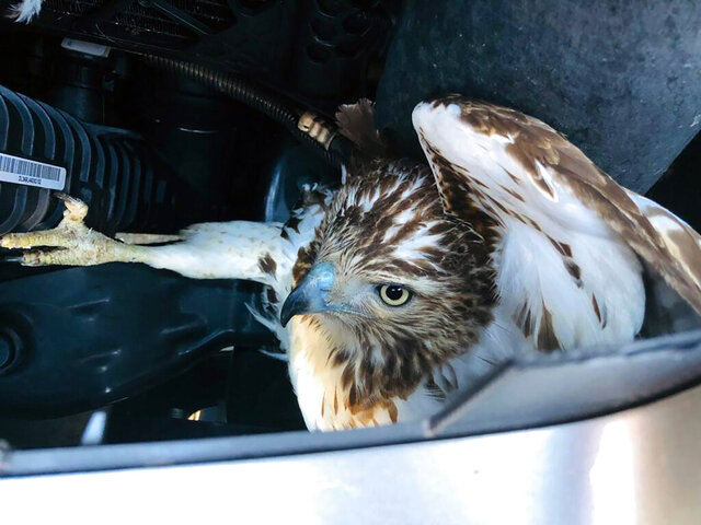 This photo provided by the Manchester Fire Department shows a red-tailed hawk that flew into the path of an SUV and became stuck behind the vehicle's grill, Wednesday, Jan. 15, 2020, in Manchester, Conn. The hawk was rescued and taken to a veterinary hospital for treatment. (Matt Shanley/Manchester Fire Department via AP)