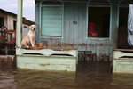 Dogs stand on a porch ledge above floodwater in Anama, Amazonas state, Brazil, Thursday, May 13, 2021. (AP Photo/Edmar Barros)