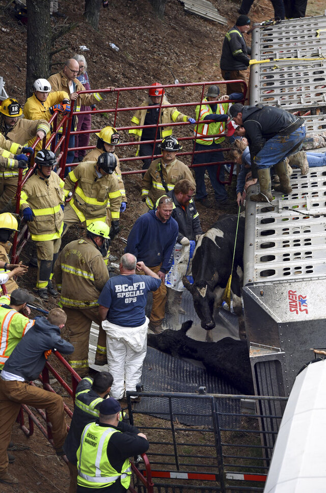 Emergency personnel work to free two live cattle from an overturned tractor-trailer on I-40 near Thomasville Road, N.C. Hwy 109, in Winston-Salem, Tuesday, Feb. 18, 2020. The one-vehicle wreck happened around 3:20 a.m. There were about 40 cattle on board. At least 10 were brought out alive. Many of the cattle died on the scene while others were euthanized because of injuries. (Walt Unks/Winston-Salem Journal via AP)