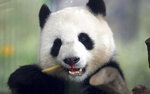 CORRECTS NAME TO MENG MENG --- In this Friday, April 5, 2019 file photo taken trough a window female panda Meng Meng eats bamboo at its enclosure at the zoo in Berlin, Germany. The Berlin zoo announced that Meng Meng is probably pregnant after an artificial insemination several months ago. (AP Photo/Michael Sohn, file)