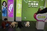 In this Thursday, Jan. 9, 2020, photo, visitors to the Democratic Progressive Party's campaign headquarters interact with dogs belonging to Taiwan President Tsai Ing-wen in Taipei, Taiwan. Taiwan's ruling party is crying foul over alleged Chinese attempts to sway the self-governing island's presidential election on Saturday. The Democratic Progressive Party, known as the DPP, rushed through a law banning