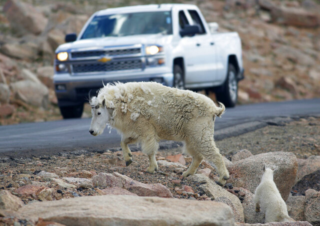 FILE - In this July 15, 2016, file photo, a mountain goat leads its kid across the Mount Evans Scenic Byway just below the summit near Idaho Springs, Colo. Wyoming wildlife managers are criticizing plans by Grand Teton National Park to shoot nonnative mountain goats by helicopter. The Wyoming Game and Fish Commission on Monday, Jan. 13, 2020, approved a resolution opposing the plans, favoring the use of volunteers to hunt the goats on the ground. (AP Photo/David Zalubowski, File)