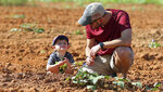 """Dustin Hayes shows his son, two-year-old Olsen Hayes, how to pick weeds for the Cleveland County Potato Project Saturday, Sept. 4, 2021, in a potato field on Hamrick Road in Shelby, N.C.  Hayes said although it will feel more like a play date for his son, he said it is never too early to instill the value of giving back. """"We enjoy helping other people and I feel like this is an important project the community does to help those in need,"""" said Hayes.  (Mike Hensdill/The Gaston Gazette via AP)"""
