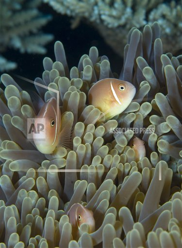 Creative AP T   Papua New Guinea vertical A family of pink anemonefish in anemone, Papua New Guinea.