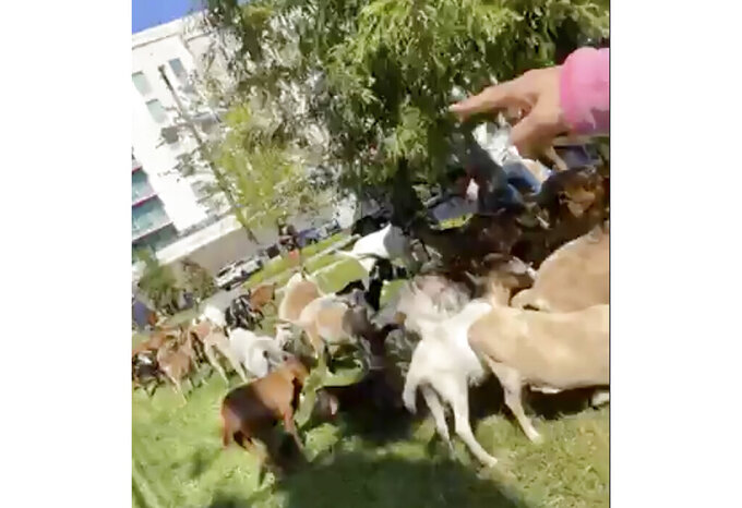 In this frame grab from video provided by Cam T. Ashling of Buckhead Goats, a herd of goats is counted Monday, Sept. 27, 2021, in the Buckhead neighborhood of Atlanta. (Cam T. Ashling/Buckhead Goats via AP)