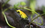 """A Phyllobates bicolor stands at the """"Tesoros de Colombia"""" frog breeding center in Cundinamarca, Colombia, Monday, May 20, 2019. The species, also known as the bicolored dart frog, it is one of the largest poison dart frogs and lives in the lowland forests of Choco, in western Colombia. (AP Photo/Fernando Vergara)"""