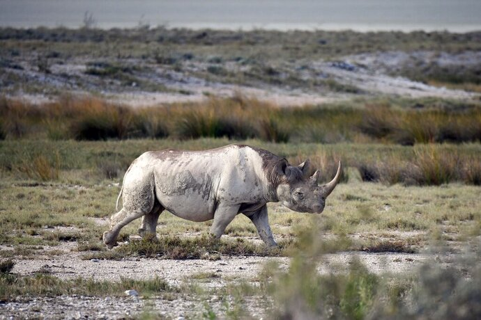 File- Picture taken on March 5, 2019 shows a black rhinoceros in the savannah landscape of the Etosha National Park. ( Matthias Toedt/AP via AP)