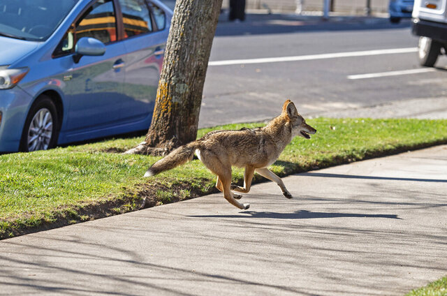 FILE - In this Feb. 26, 2020, file photo, a coyote runs on the sidewalk in midtown Sacramento, Calif. Animal control officers in northern California have determined that a growing population of urban coyotes is likely the culprit behind multiple discoveries of mutilated animal corpses. Residents in Sacramento started reporting sightings of dead cats over the past few weeks, the Sacramento Bee reported Thursday, Aug. 6, 2020. (Xavier Mascarenas/The Sacramento Bee via AP, File)