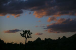FILE - In this Tuesday, May 19, 2020 file photo a Joshua tree is silhouetted against the sky at Joshua Tree National Park in California. The western Joshua tree will be considered for protection under the California Endangered Species Act because of threats from climate change and habitat destruction, The state's Fish and Game Commission on Tuesday, Sept. 22, 2020, voted 4-0 to accept a petition that provides the yucca plants temporary protected status for one year while the agency conducts a study. After the review, commissioners will determine whether the species should be formally protected under the state law. (AP Photo/Jae C. Hong,File)