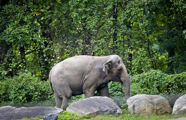 FILE - In this Oct. 2, 2018 file photo, Bronx Zoo elephant