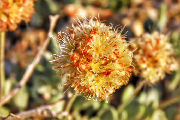 This photo provided by the Center for Biological Diversity shows Tiehm's buckwheat blooming at Rhyolite Ridge in the Silver Peak Range of Western Nevada on June 1, 2019. A botanist hired by a company planning to mine one of the most promising deposits of lithium in the world believes the rare desert wildflower at the Nevada site should be protected under the Endangered Species Act, a move that could jeopardize the project, new documents show. (Patrick Donnelly/Center for Biological Diversity via AP)