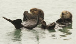 In this May 21, 2016 file photo, a pair of northern sea otters float on their backs in the small boat harbor at Seward, Alaska. Sea otters, once wiped out by hunting along Alaska's Panhandle, have made a strong comeback and fishermen who target shellfish are seeking relief from their voracious appetites. Sea otters eat the equivalent of a quarter of their own weight each day. (AP Photo/Dan Joling, File)