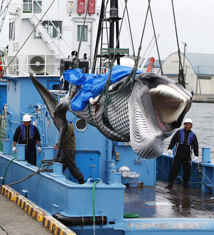 A whale is unloaded at a port in Kushiro, in the northernmost main island of Hokkaido, Monday, July 1, 2019. Japan is resuming commercial whaling after 31 years, meeting a long-cherished goal seen as a largely lost cause. Japan's six-month notice to withdraw from the International Whaling Commission took effect Sunday.(Masanori Takei/Kyodo News via AP)