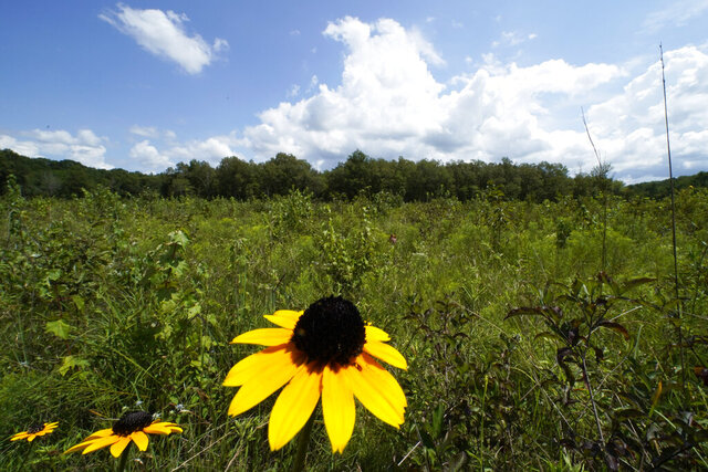 A black-eyed Susan flower grows among a variety of plants in an open grassland area at the May Prairie State Natural Area on Aug. 20, 2020, in Manchester, Tenn. Across much of the South, at least 90% of the native grasslands have been lost, the Southeastern Grasslands Initiative estimates. (AP Photo/Mark Humphrey)
