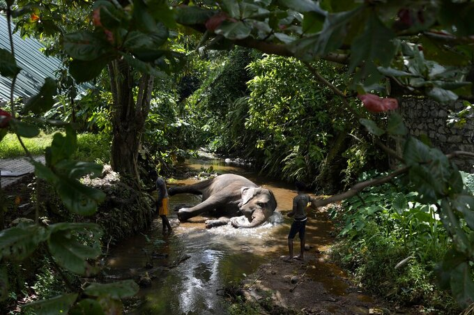 A tame elephant Suddi who was recently released from government custody following a court order, reclines in a water way to cool off in Pannipitiya, a suburb of Colombo, Sri Lanka, Sunday, Sept. 12, 2021. Environmentalists in Sri Lanka are challenging a court order issued earlier this month that would allow the return of 14 illegally captured wild elephants to people accused of buying them from traffickers. Rights groups and lawyers say the Sept. 6 court order is based on a government decree that violates Sri Lankan environmental laws. They fear the order could encourage a resurgence of trafficking of wild elephants, putting them at risk. (AP Photo/Eranga Jayawardena)