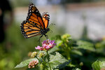 FILE - This Aug. 19, 2015, file photo, shows a monarch butterfly in Vista, Calif. The western monarch butterfly population wintering along California's coast remained critically low for the second year in a row, a count by an environmental group released Thursday, Jan. 23, 2020, showed. (AP Photo/Gregory Bull, File)