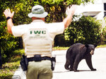 A Florida Fish and Wildlife Conservation Commission officer gestures towards a juvenile black bear that was roaming through Fort Myers, Fla., Tuesday morning, May 26, 2020. The bear was eventually trapped and will be relocated. (Andrew West/The News-Press via AP)