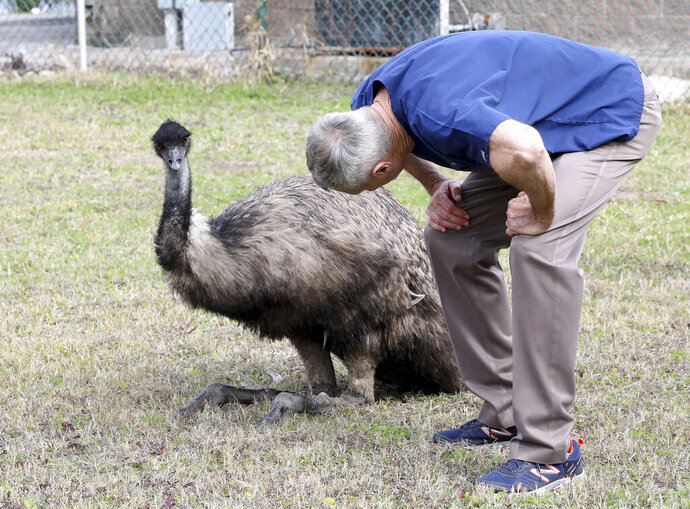 In this Tuesday, Jan. 22, 2019, photo Dr. Richard Henderson, a veterinarian with Galveston Veterinary Clinic, checks over one of two emus caught by animal control officers at Parker Elementary School in Galveston, Texas. (Jennifer Reynolds/The Galveston County Daily News via AP)
