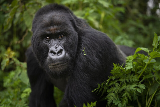 FILE - In this Sept. 2, 2019, file photo, a silverback mountain gorilla named Segasira walks in the Volcanoes National Park, Rwanda. These large vegetarian apes are generally peaceful, but as the number of family groups in a region increases, so does the frequency of gorilla family feuds, according to a new study published Wednesday, Nov. 4, 2020, in the journal Science Advances. (AP Photo/Felipe Dana, File)
