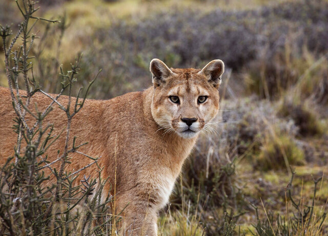 This image released by BBC America shows a female puma on the hunt in Torres del Paine National Park, Chile, featured in the nature series