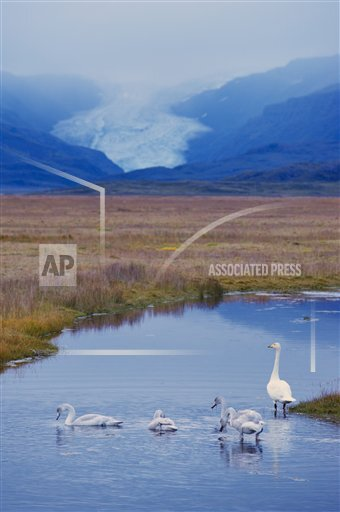 Creative AP T   Iceland 770-1574 Whooper swans (Cygnus cygnus) family, Hoffelsjokull glacier in background, north of Hofn, East Fjords region (Austurland), Icela