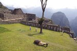 A llama lays on a lawn at the Machu Picchu archeological site as maintenance workers gather to repair roads and signs in Peru's majestic Incan citadel, in preparation for reopening, in Cusco, Tuesday, Oct. 27, 2020. The long closure of Peru's No. 1 tourist draw, which has hammered the local economy, marks the second time it has been shut down since it opened its doors to tourism in 1948. The first time was in 2010 when torrential and prolonged rains forced its closure. (AP Photo/Martin Mejia)