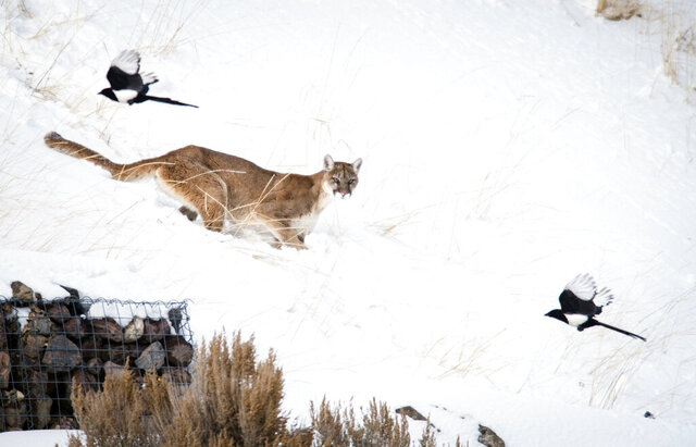 In this Wednesday, Jan. 8, 2020, photo, a mountain lion scares away magpies from the deer carcass it has been watching on High School Butte in Jackson, Wyo. The cougar remained in a juniper tree about 50 yards away from the kill for multiple days and attracted large crowds of onlookers. (Kathryn Ziesig/Jackson Hole News & Guide via AP)
