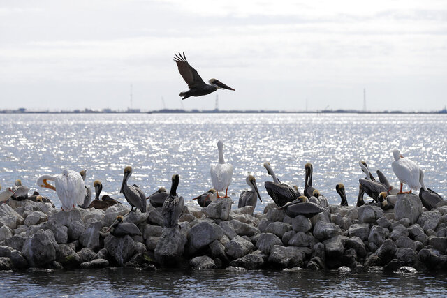 Pelicans fly over and sit on man made rock revetment on Queen Bess Island in Barataria Bay, La., Monday, Feb. 3, 2020. The island provides a crucial nesting ground for pelicans and other seabirds and is being restored to nearly its former size after decades of coastal erosion and the devastating blow of an offshore oil spill 10 years ago. (AP Photo/Gerald Herbert)