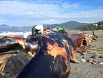 This Nov. 5, 2019 photo provided by Oregon State University shows a 78-foot blue whale that washed ashore near Gold Beach, Ore. The carcass of the giant blue whale that's been submerged off the Oregon coast for more than three years was hauled to the surface so it can be reassembled, studied and put on public display, scientists with Oregon State University said Friday, Nov. 22, 2019. The dead whale, which was about as long as two school buses, washed ashore near Gold Beach in 2015. (Michelle Klampe/Oregon State University via AP)